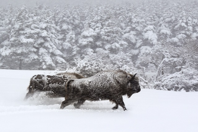 Tournage Galatée films - Les Saisons - Réalisation Jacques PERRIN et Jacques CLUZAUD. Séquence Bisons sous la neige - Haut Thorenc